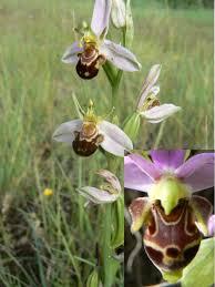 Orchis-bourdon2